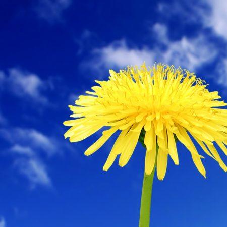 dandelion, flowers, sky