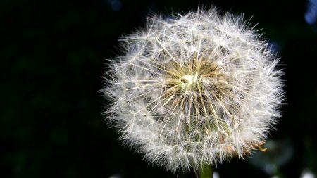 dandelion, fluff, black