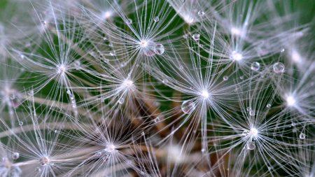 dandelion, fluff, drop