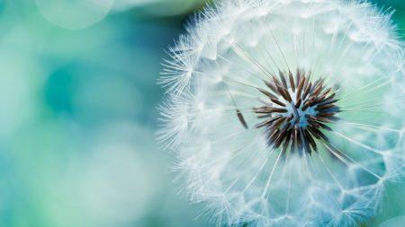 dandelion, fluff, flower