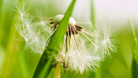 dandelion, fluff, grass
