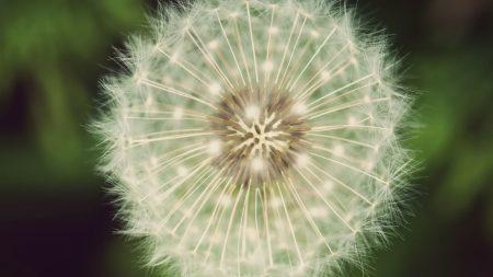 dandelion, fluff, white