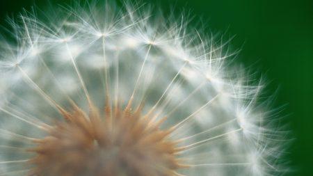 dandelion, green, white
