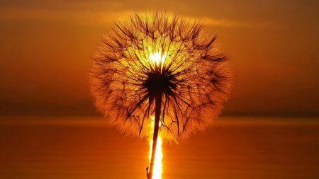 dandelion, light, bright