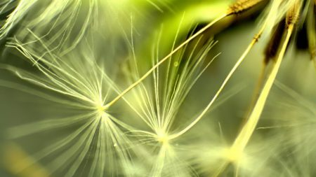 dandelion, light, leaves