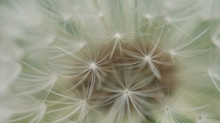 dandelion, plants, feathers