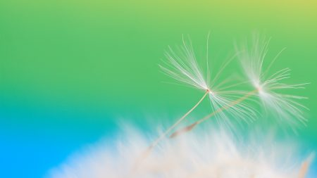 dandelion, seeds, feathers