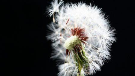 dandelion, white, abscission