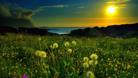 dandelions, evening, light