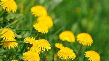 dandelions, field, summer