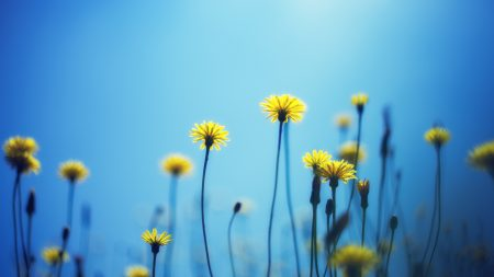 dandelions, flowers, blur
