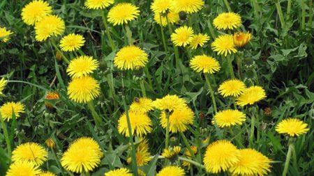 dandelions, flowers, bright