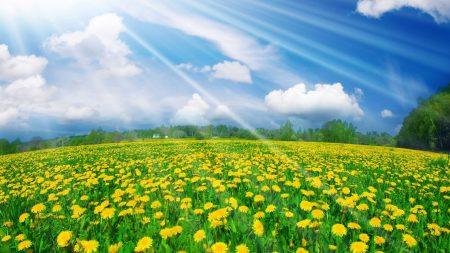 dandelions, flowers, clearing