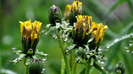 dandelions, flowers, curled