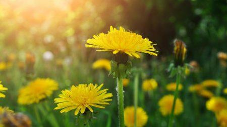 dandelions, meadow, flowers