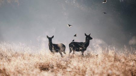 deer, birds, field