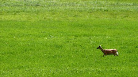 deer, grass, field