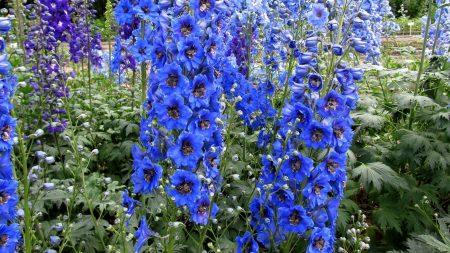 delphinium, flowers, bright