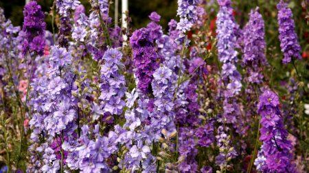 delphinium, flowers, lilac