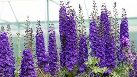 delphinium, flowers, purple