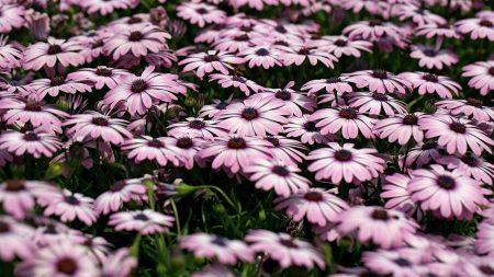 dimorfoteka, flower, flowerbed