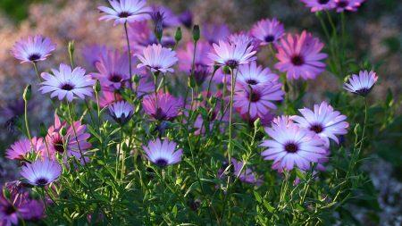 dimorfoteka, flowerbed, flowers