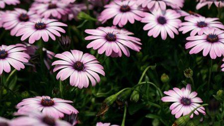 dimorfoteka, flowers, flowerbed