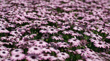 dimorfoteka, flowers, many