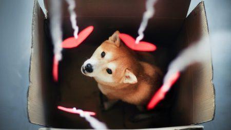 dog, akita inu, box