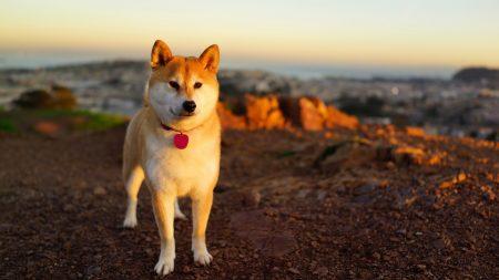 dog, akita inu, grass