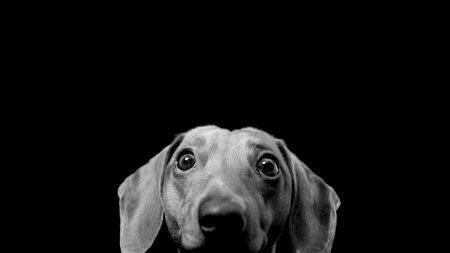 dog, black, gray