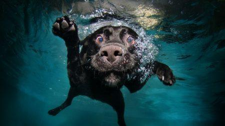 dog, black, underwater
