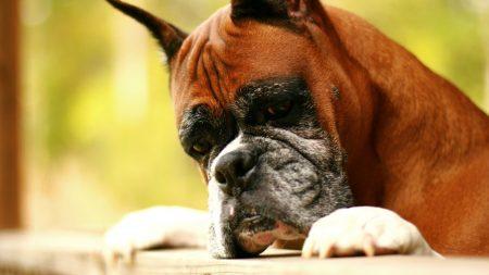 dog, boxer, evil