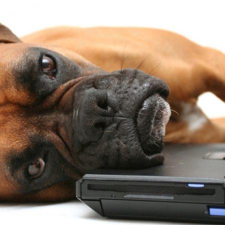 dog, boxer, laptop