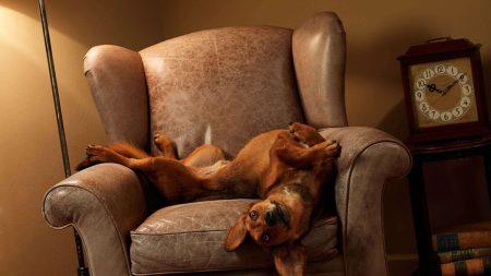 dog, chair, lie down