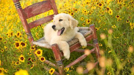 dog, chair, lying