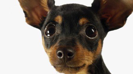 dog, chihuahua, small