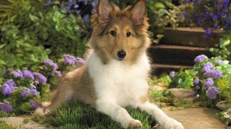 dog, collie, puppy
