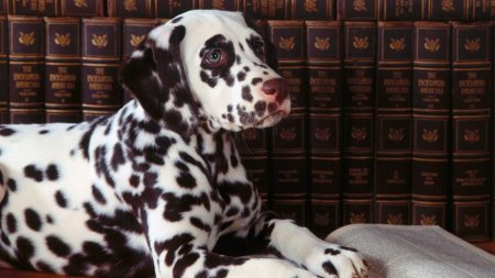 dog, dalmatian, spotted