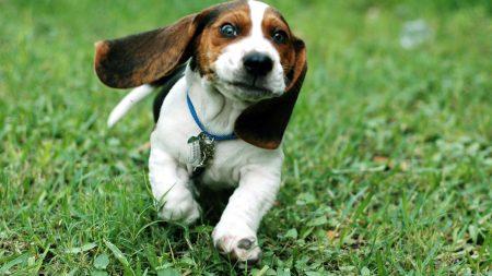dog, ears, run