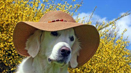dog, face, hat