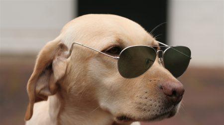 dog, face, sunglasses