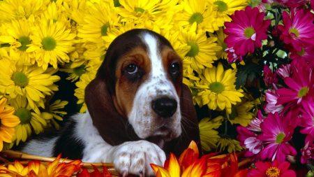 dog, flowers, basset