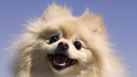 dog, fluffy, white