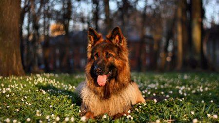 dog, grass, sit