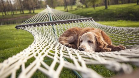 dog, hammock, lie down