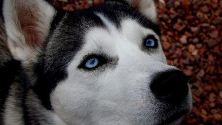 dog, husky, blue-eyed