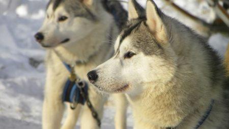 dog, husky, snow