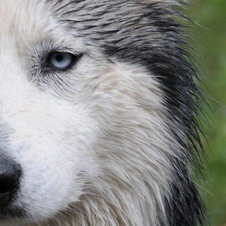 dog, husky, wet
