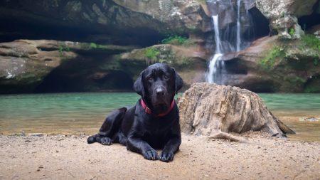 dog, labrador, black